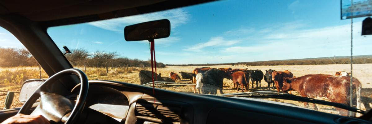 Diesel pickup truck on a ranch, several cows seen through the windshield of a pickup truck